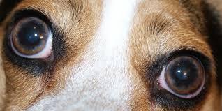 Ojos perros