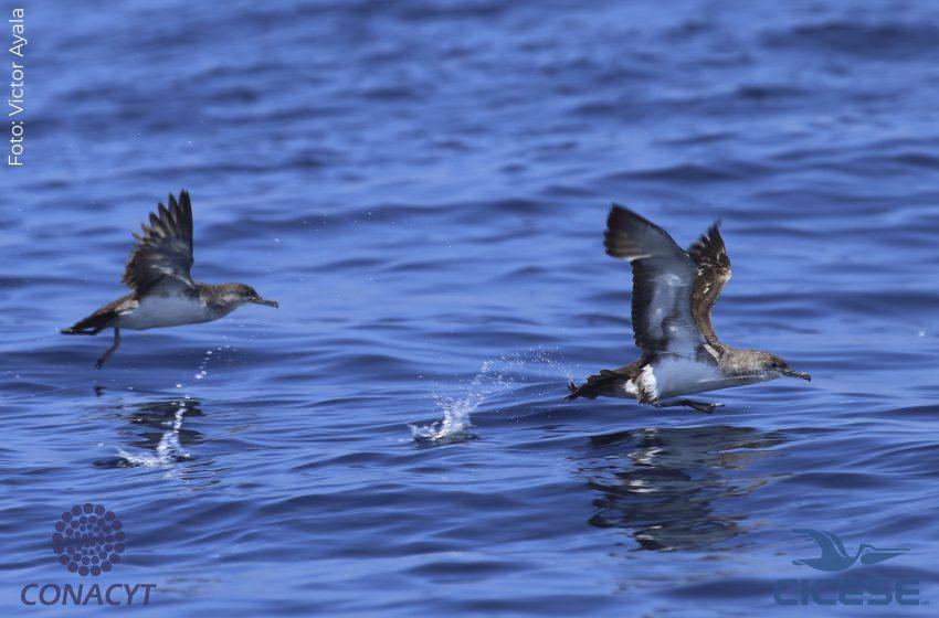 La importancia de las Islas mexicanas para las aves marinas