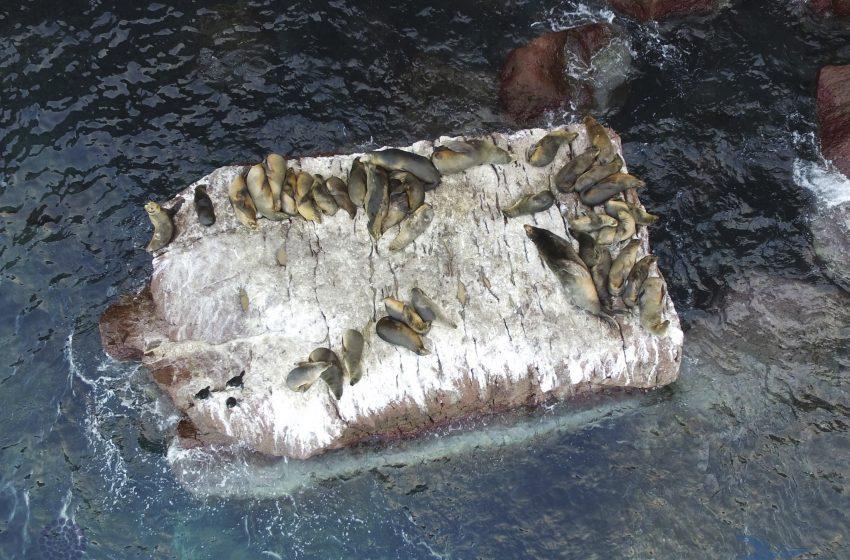 La alarmante disminución de la población del lobo marino