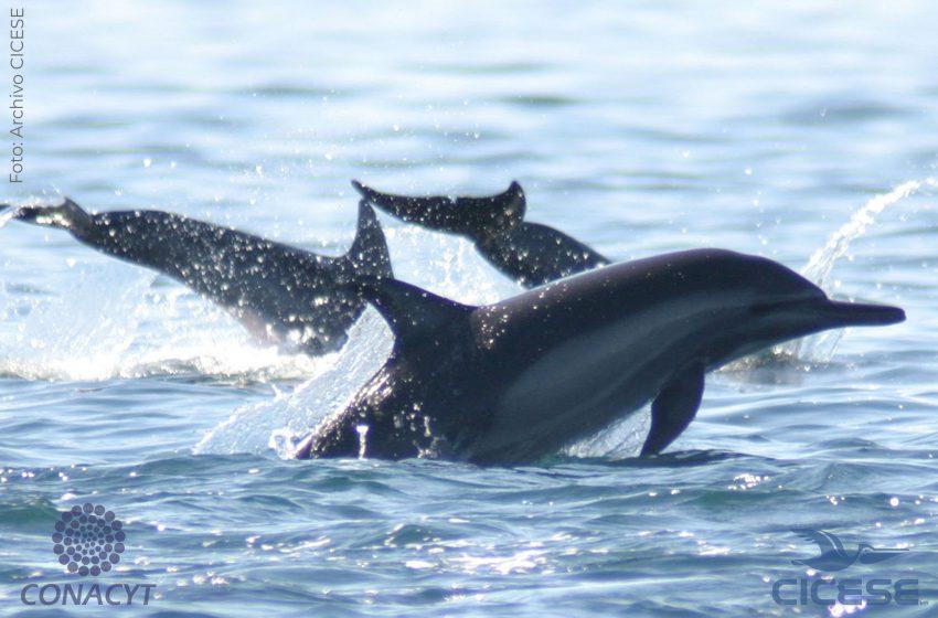 Ecolocalización de delfines en el Alto Golfo de California