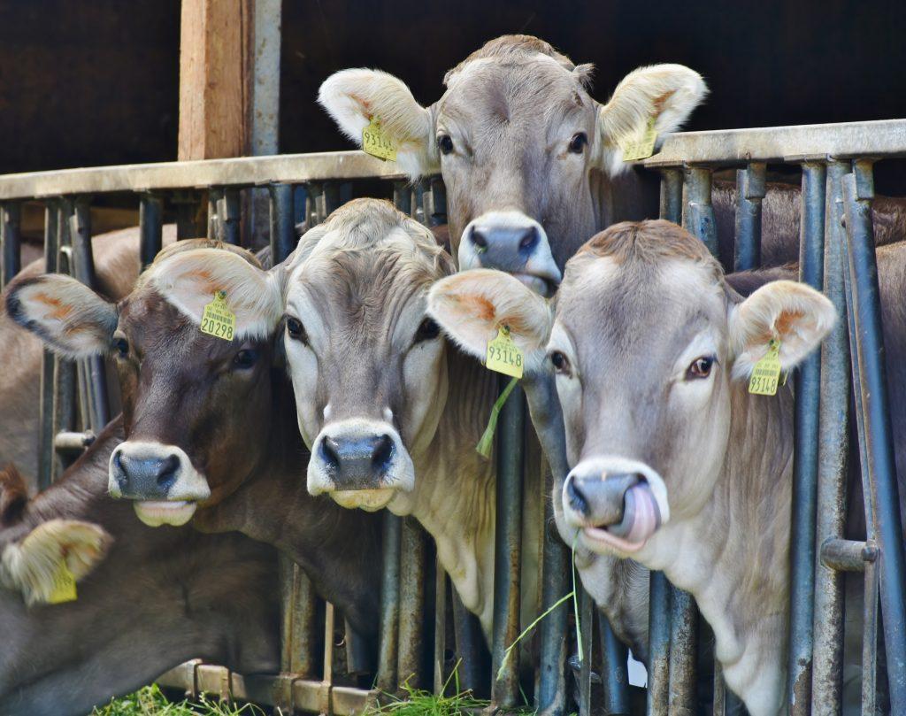 Vacas encerradas